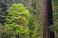 Deciduous trees in evergreen forest, Redwood National and State Parks, Del Norte County, California