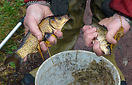 Chris Chambers holds a carp that he pulled from the Delaware Canal as they work to save fish from the Canal that has low water flow Thursday November 12, 2015 in New Hope, Pennsylvania.  A broken pump at Centre Bridge has disrupted the flow of water from the Delaware River into the canal, and the rapidly receding water in the canal is threatening to kill the fish. (Photo by William Thomas Cain)