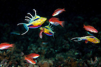 Triton Bay Flasher Wrasses (described in 2008) in full display...Shot in Indonesia..