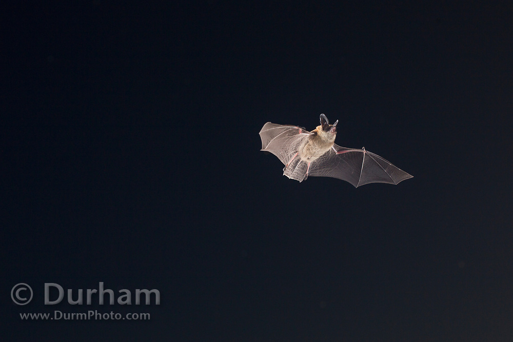 Bat (myotis sp) flying at night  in Central Oregon. © Michael Durham