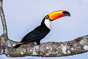 Toco Toucan (Ramphastos toco)<br /> Northern Pantanal<br /> Mato Grosso<br /> Brazil