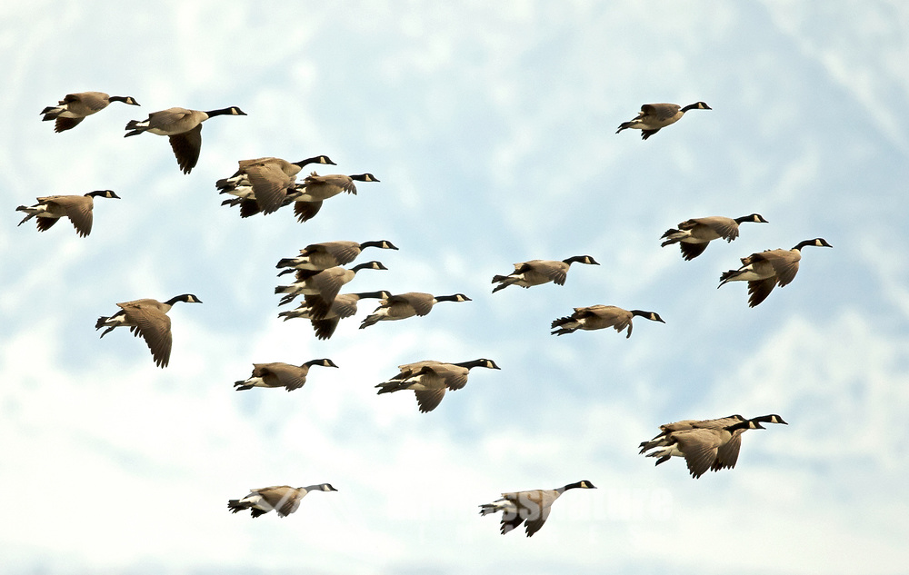 Canadian Geese sets for a landing on a small farming pond on a January afternoon.