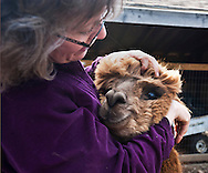 April 22, 2011 - Sonya Hanson, co-owner of Ice Pond Farms in Cranston, RI, says hello to one of her alpacas. .