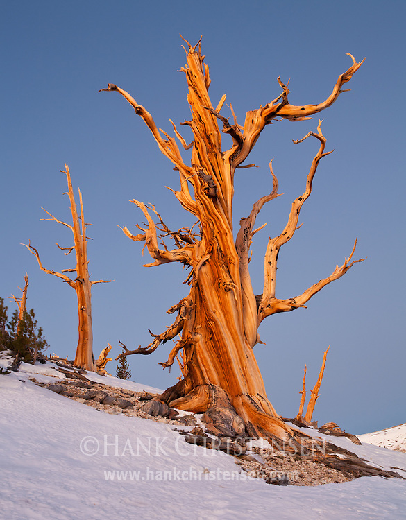 A twisted bristlecone pine glows orange in the intense rising sun, Ancient Bristlecone Pine Forest