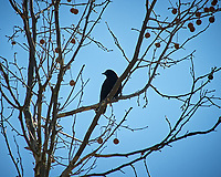 American Crow in a Sycamore tree. Image taken with a Nikon D3 camera and 80-400 mm VR lens (ISO 200, 400 mm, f/5.6, 1/3200 sec).
