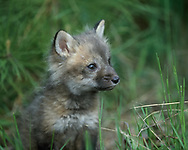 Red fox kit, 6 weeks old, sitting, [captive, controlled conditions] , © 1999 David A. Ponton
