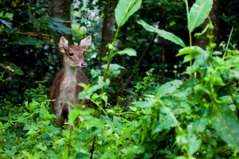 Deer in the Kebar mountains, near Manokwari, Papua, Indonesia, Sept. 12, 2008..Daniel Beltra/Greenpeace