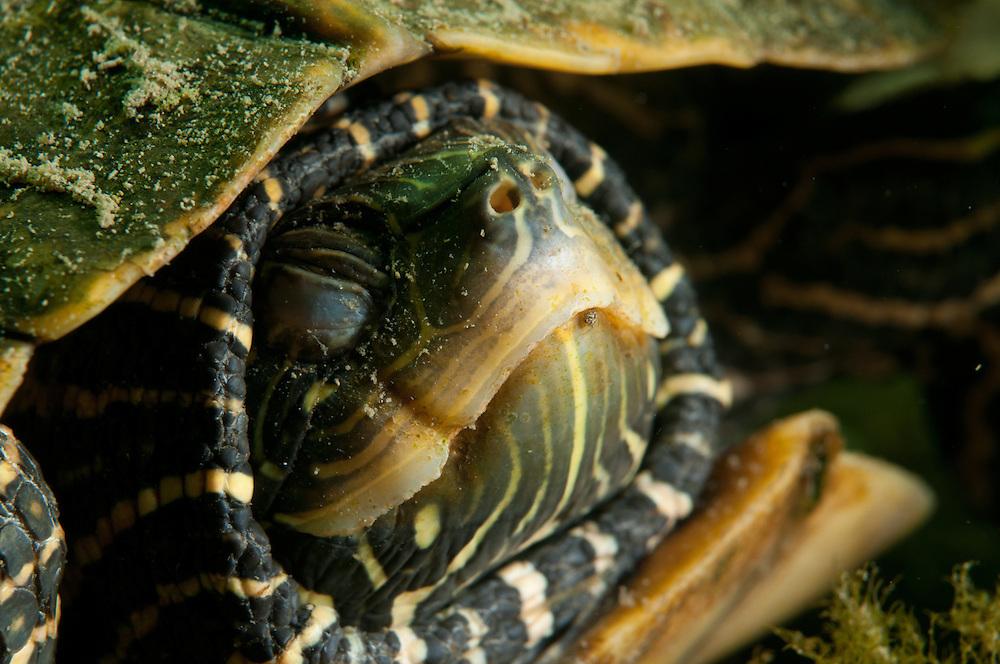 Tortue géographiques, espèce en péril, en hibernation. | Hibernating Northern map turtle a species at risk in Canada.