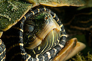 Tortue géographiques, espèce en péril, en hibernation. | Hibernating Northern map turtle a species at risk in Canada.