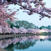 The predawn light catched the pink cherry blossom flowers in Washington DC, with their reflection on the still waters of the Tidal Basin. The Yoshino Cherry Blossom trees lining the Tidal Basin in Washington DC bloom each early spring. Some of the original trees from the original planting 100 years