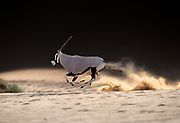 A gemsbok bull raises dust as it gallops at full speed between dunes in the central Namib desert at Sossusvlei, Namibia. Gemsbok (Oryx Gazella) can gallop upto about 37mph; often becoming airborn at these speeds, and can sustain a running gait for long distances to escape predators.