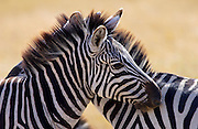Burchells Plains Zebra ,Grumeti,Tanzania RESERVED USE - NOT FOR DOWNLOAD -  FOR USE CONTACT TIM GRAHAM