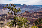 A pine tree on Yavapai Point, on the South Rim of Grand Canyon National Park, Arizona, USA. Starting at least 5 to 17 million years ago, erosion by the Colorado River has exposed a column of distinctive rock layers, which date back nearly two billion years at the base of Grand Canyon. While the Colorado Plateau was uplifted by tectonic forces, the Colorado River and tributaries carved Grand Canyon over a mile deep (6000 feet), 277 miles  long and up to 18 miles wide.