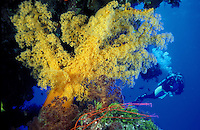Diver with yellow soft tree coral on reef