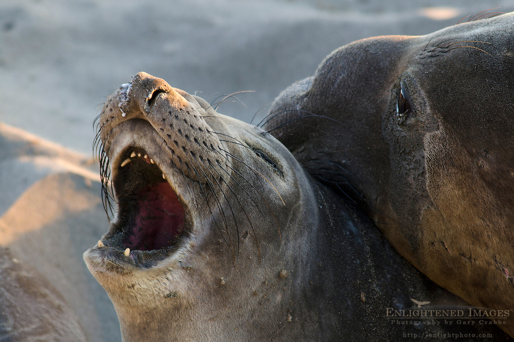 Northern Elephant Seal (Mirounga angustirostris) colony at Piedras Blancas, near San Simeon, San Luis Obispo County, California