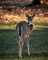 Young Deer. Image taken with a Fuji X-T2 camera and 100-400 mm OIS lens (ISO 200, 400 mm, f/5.6, 1/180 sec).