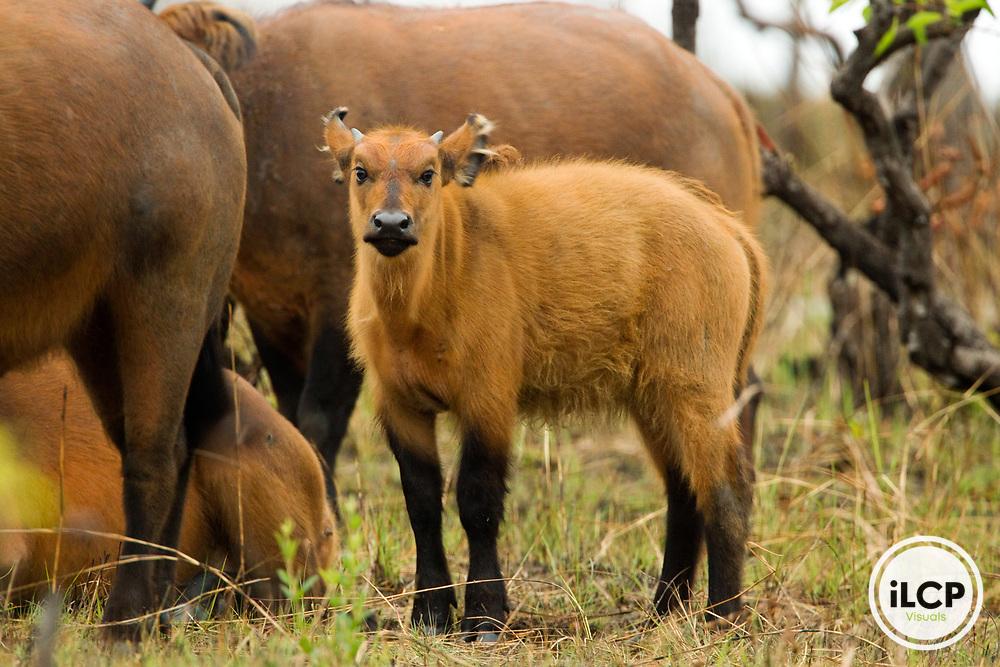 Forest Buffalo (Syncerus caffer nanus) calf, Lope National Park, Gabon