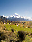 An iconic view of New Zealand - sheep in the pasture and Aoraki/Mt. Cook in the background.  Aoraki is NZ's highest mountain peak.