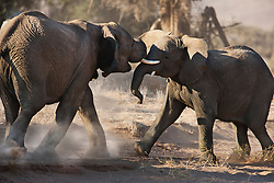 Two desert-adapted elephant sub-adults (Loxodonta africana) mock fight and play ,Skeleton Coast, Namibia, Africa
