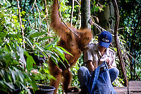 Indonesia, Sumatra. Bukit Lawang. Gunung Leuser National Park. The orangutan sanctuary of Bukit Lawang is located inside the park. At the feeding platform.
