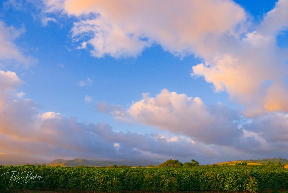 Evening sky over coffee fields at the Kauai Coffee Company plantation (largest in Hawaii), Island of Kauai, Hawaii