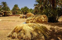 Harvest at Kasbah Ramala, Morocco<br /> <br /> (c) Andrew Wilson | Edinburgh Elite media