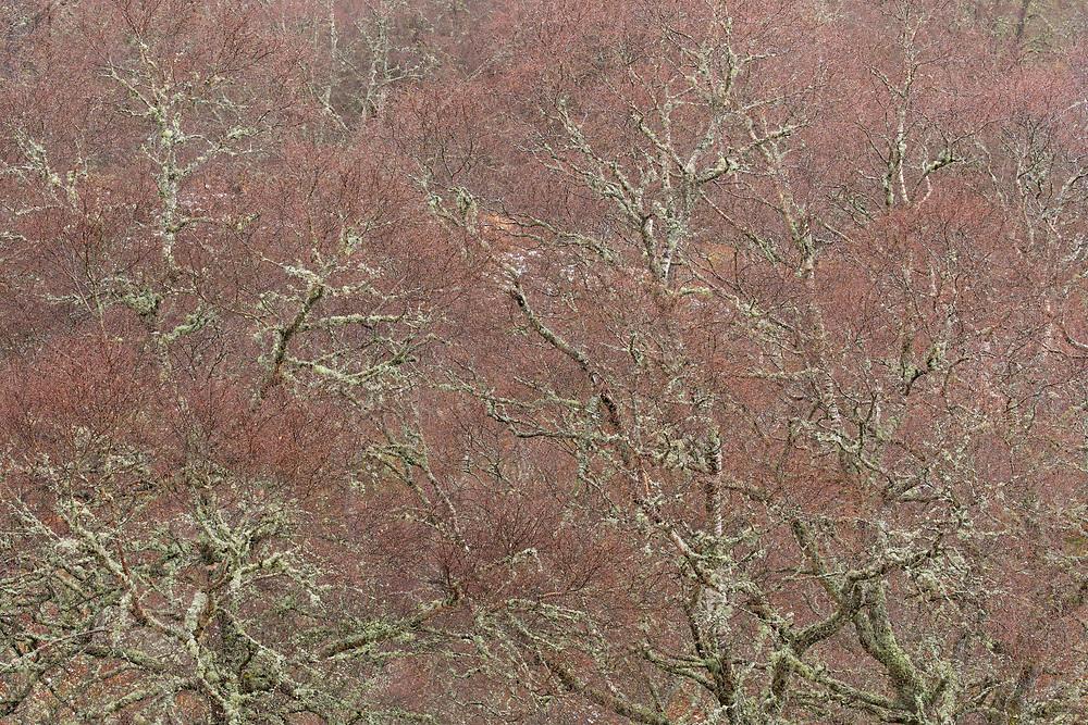 Silver Birch (Betula pendula) tree in late winter showing purple coloured branches, Scotland