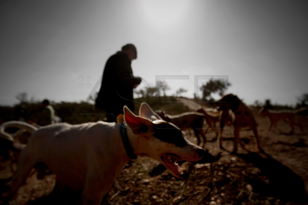 PMM#071109_The Chase_ Herdade do Peral, Évora, Alentejo, Portugal. Dog injured by a boar. The dog teams are used to hunt wild boars while hunters wait to shoot. Sometimes dogs are attacked and injured by wild boars.