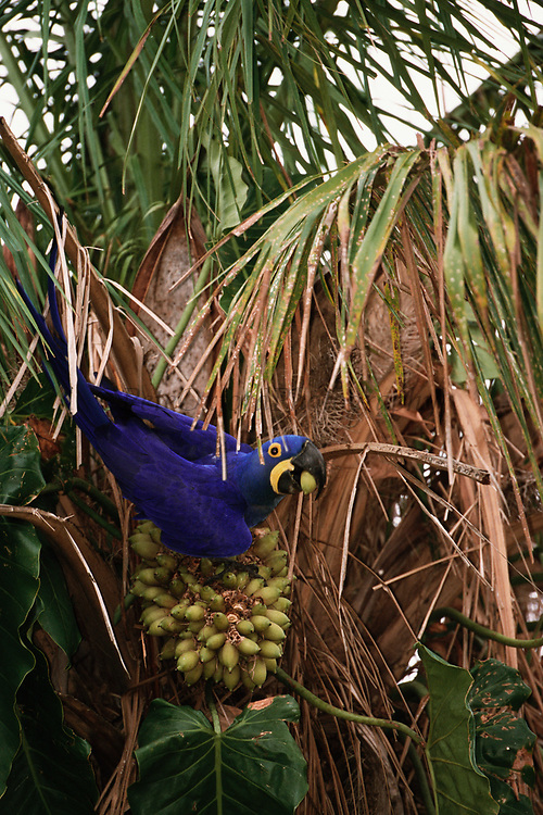 Hyacinth Macaw eating palm nuts<br />Anodorhynchus hyacinthinus<br />Pantanal. BRAZIL. South America<br />RANGE; Int Brazil, nw Paraguay and Bolivia