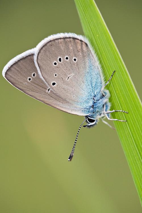 Butterfly, Mazarine Blue, Cyaniris semiargus, Eastern Slovakia, Europe