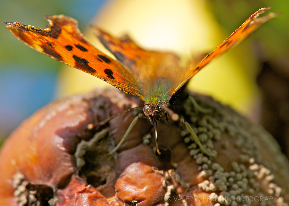 A butterfly sucks sugar out of a rotten, mouldy apple.