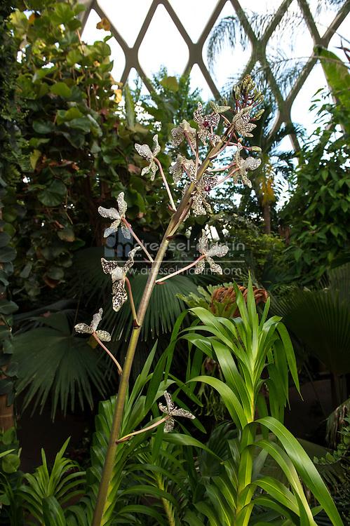 Grammatophyllum speciosum, tiger orchid, sugar cane orchic, tiger orchid