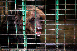 ROMANIA ZARNESTI 29OCT12 -Newly rescued bears spend their first days in the quarantine area at the Zarnesti Bear Sanctuary in Romania, funded by WSPA...With over 160 acres (70 hectares) spread over a wooded hillside, it is Romania's first bear sanctuary and today houses 67 bears rescued from ramshackle zoos and cages at roadside restaurants.......jre/Photo by Jiri Rezac / WSPA..© Jiri Rezac 2012