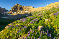 The morning sun illuminates the peak of Mount Timpanogos as the basin is filled with Summer wildflowers.