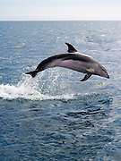 A dolphin playfully leaps out of the water, Bay of Islands, Northland, New Zealand.