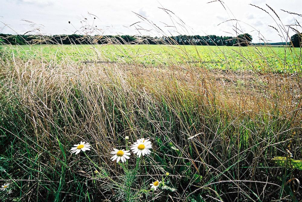 Eine Ringelblume wächst an einem Ackerrand im Wendland.