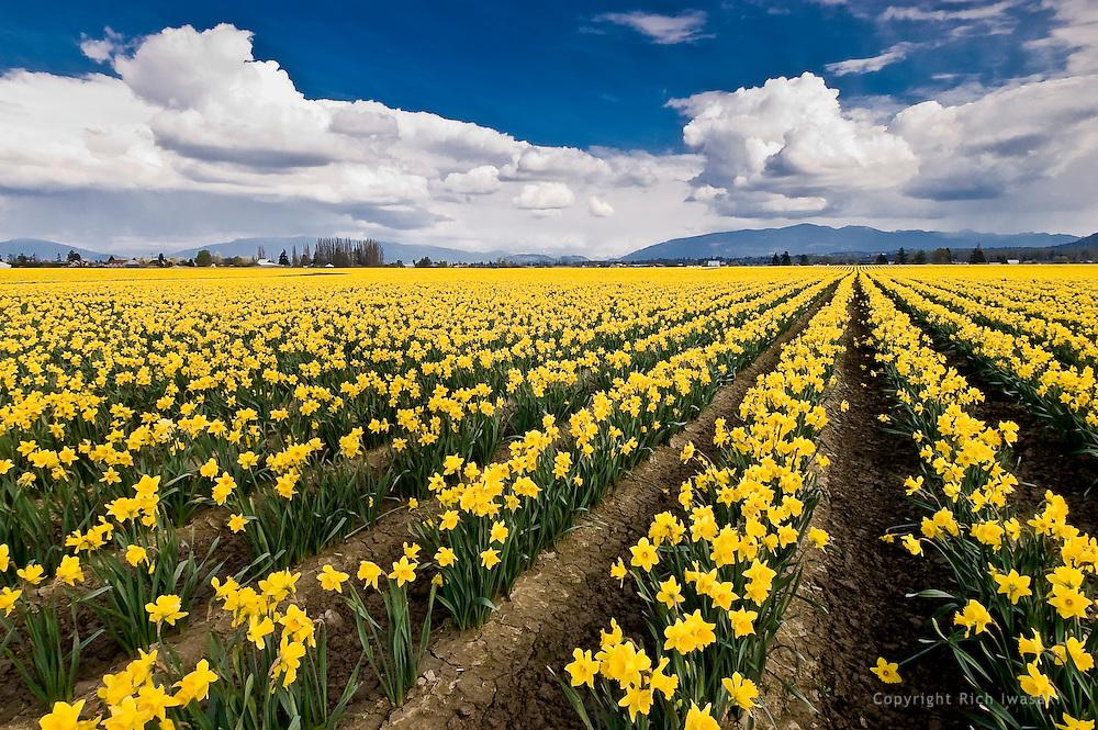Daffodil flowers in field, Skagit Valley, near Mt. Vernon, WA