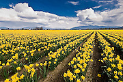Daffodil flowers in field, Skagit Valley, near Mt. Vernon, WA