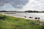 Nederland, Nijmegen, 8-6-2012Wilde galloway runderen zoeken verkoeling bij het water van de rivier de Waal. Op de achtergrond de stad , de stevenstoren en de waalbrug.  Foto: Flip Franssen/Hollandse Hoogte