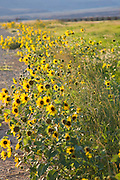Wyoming, Lovell. Roadside sunflowers glow in the evening light and move in the strong Wyoming wind, East of Lovell, Wyoming, USA . PLEASE CONTACT US FOR DIGITAL DOWNLOAD AND PRICING.