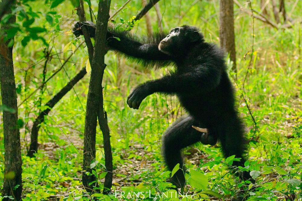 Chimpanzee male with erect penis expressing interest in sex to female, Pan troglodytes verus, Fongoli, Senegal