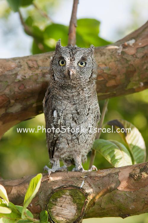 European Scops Owl (Otus scops) on a tree, Hefer valley, Israel