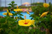 Yellow hibicus flower,  Maui, Hawaii