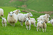 Flock of sheep ewes and lambs in the Brecon Beacons in Wrexham, Wales, United Kingdom