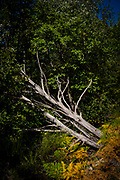 Fallen tree on Canigou mountain, Vernet Les Bains