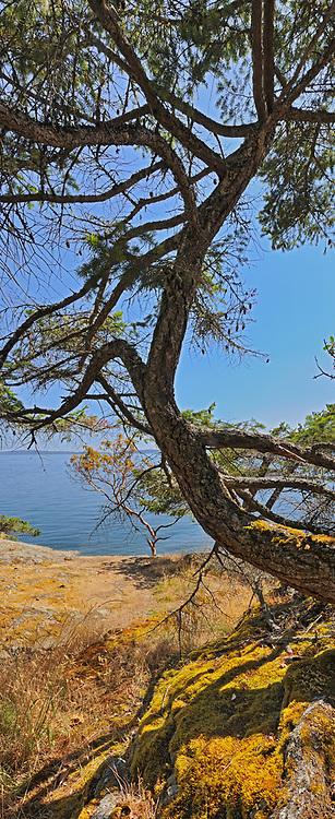 Pine tree, Saltspring Island (Gulf Islands), British Columbia, Canada