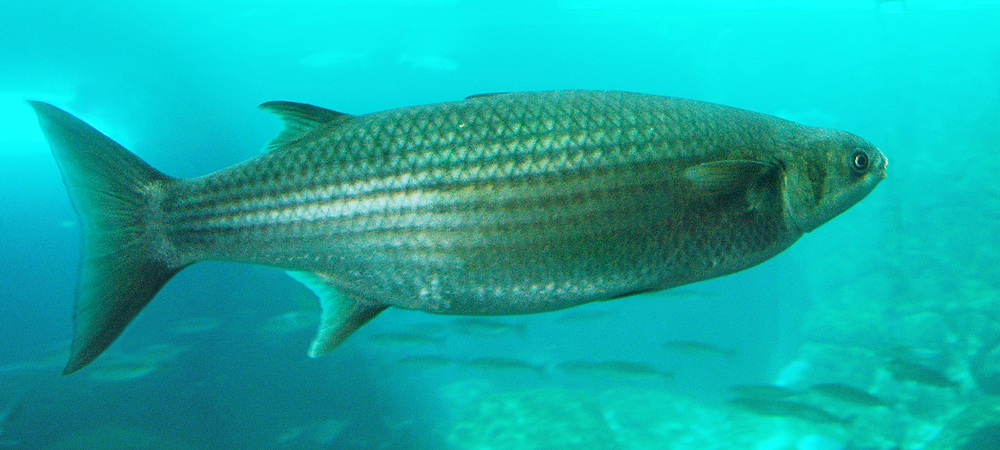 Thick-lipped grey mullet (Chelon labrosus).   Location: Norway