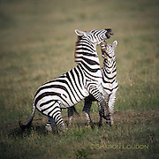 Zebra tussle, Maasai Mara