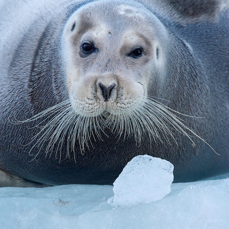 Bearded seal, Erignathus barbatus, Spitsbergen, Svalbard, Norway
