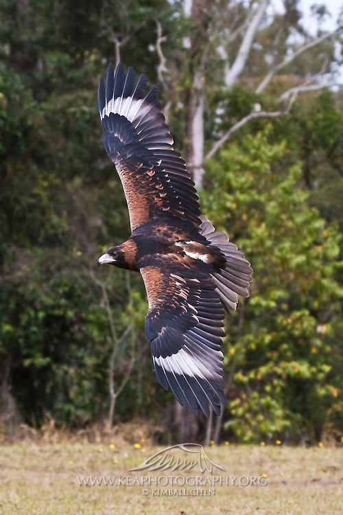 The Wedge-tailed Eagle is the largest raptor in Australia, with a wingspan of 6 to 8 feet.
